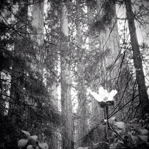 Giant Sequoias
