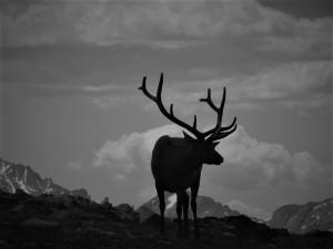 Elk in Silhouette